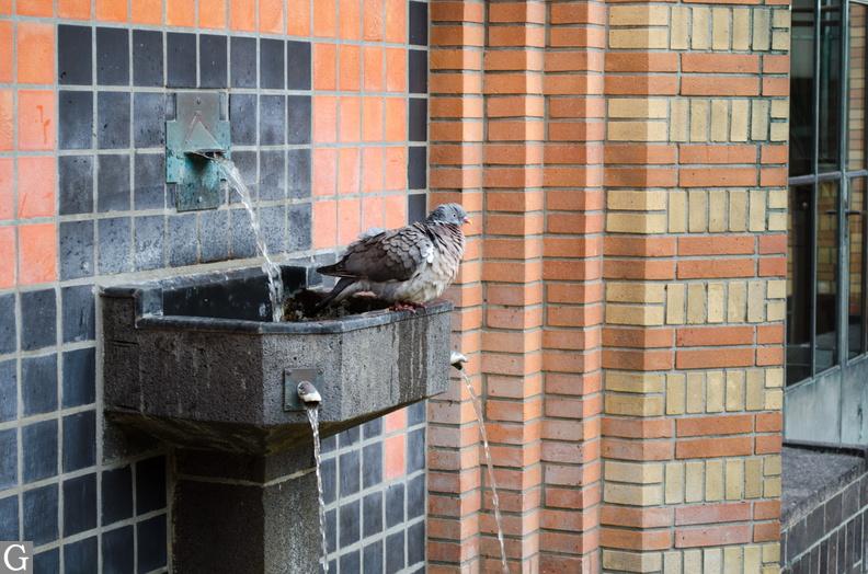 duif in fonteintje op binnenplaats museum