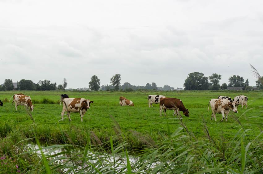 koeien in de wei bij Wilnis